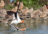 Avocet mating rituals